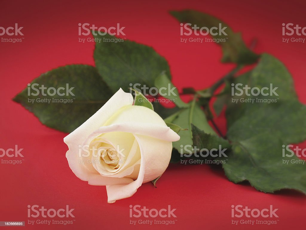 White Rose on Red royalty-free stock photo
