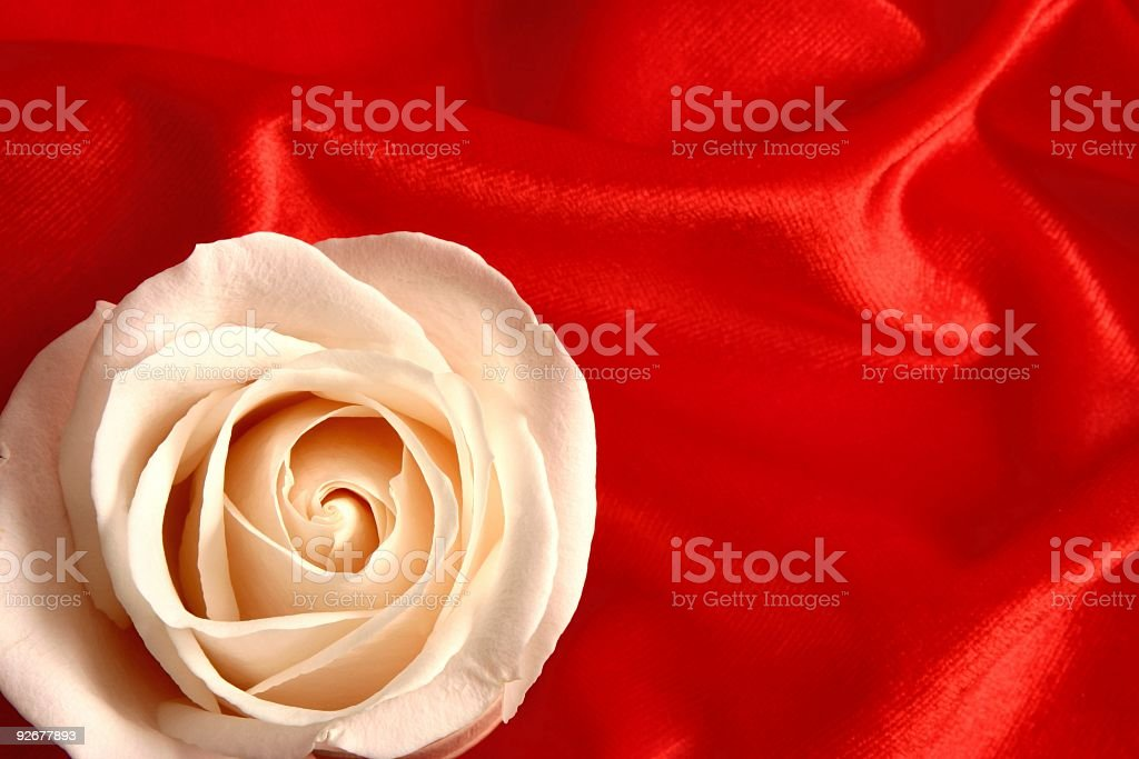 White Rose on Red stock photo