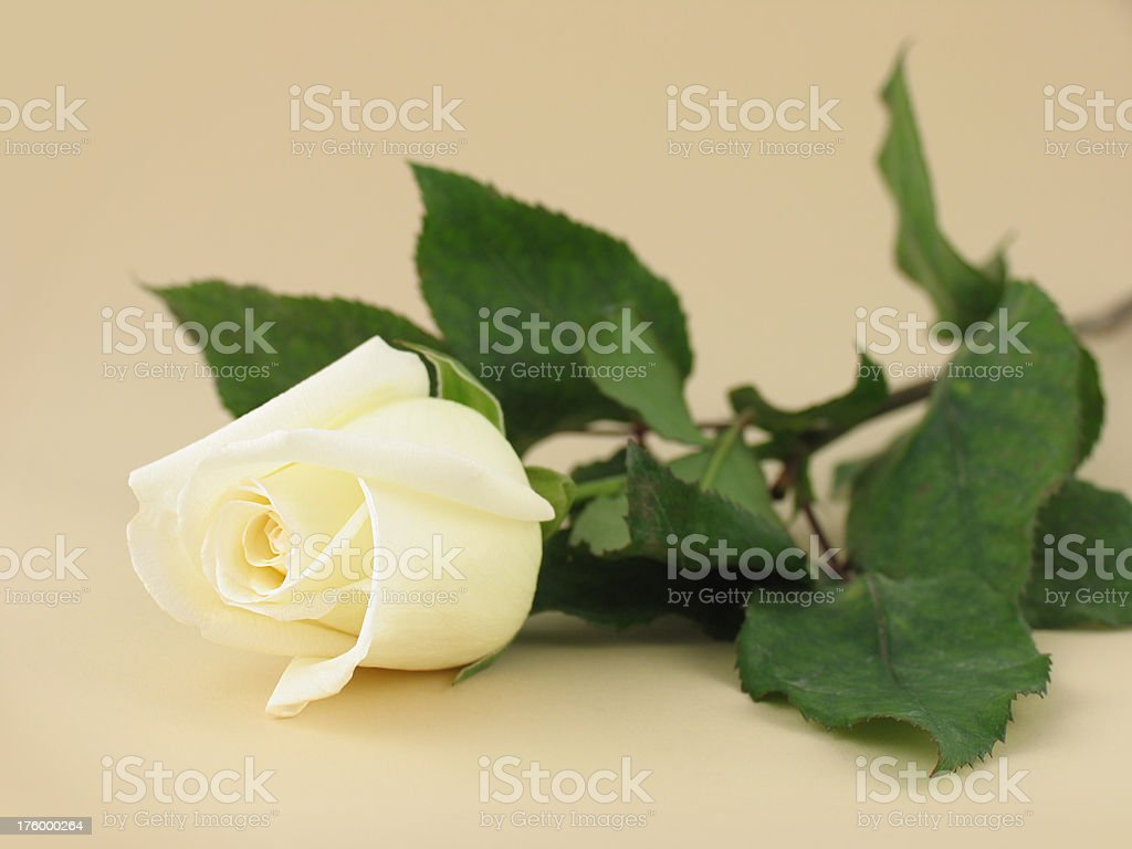 White Rose on Tan royalty-free stock photo