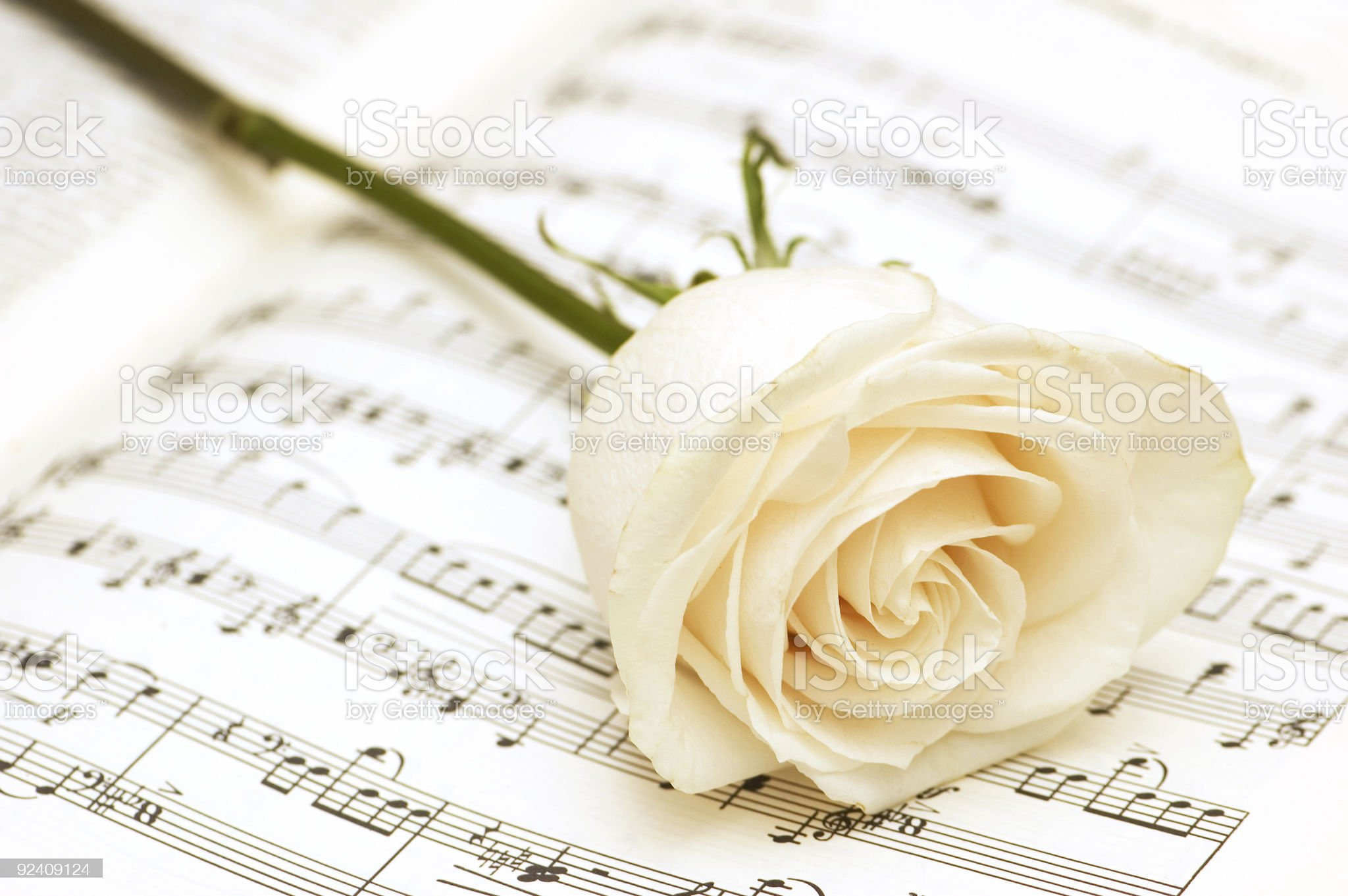 White rose on the musical notes page royalty-free stock photo