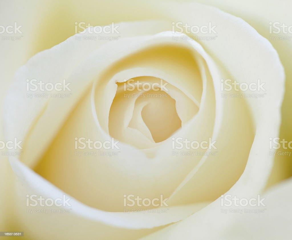 White Rose royalty-free stock photo