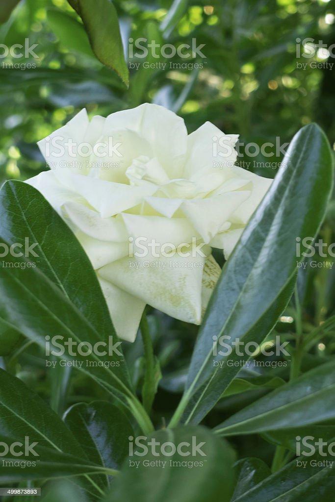 White rose . stock photo