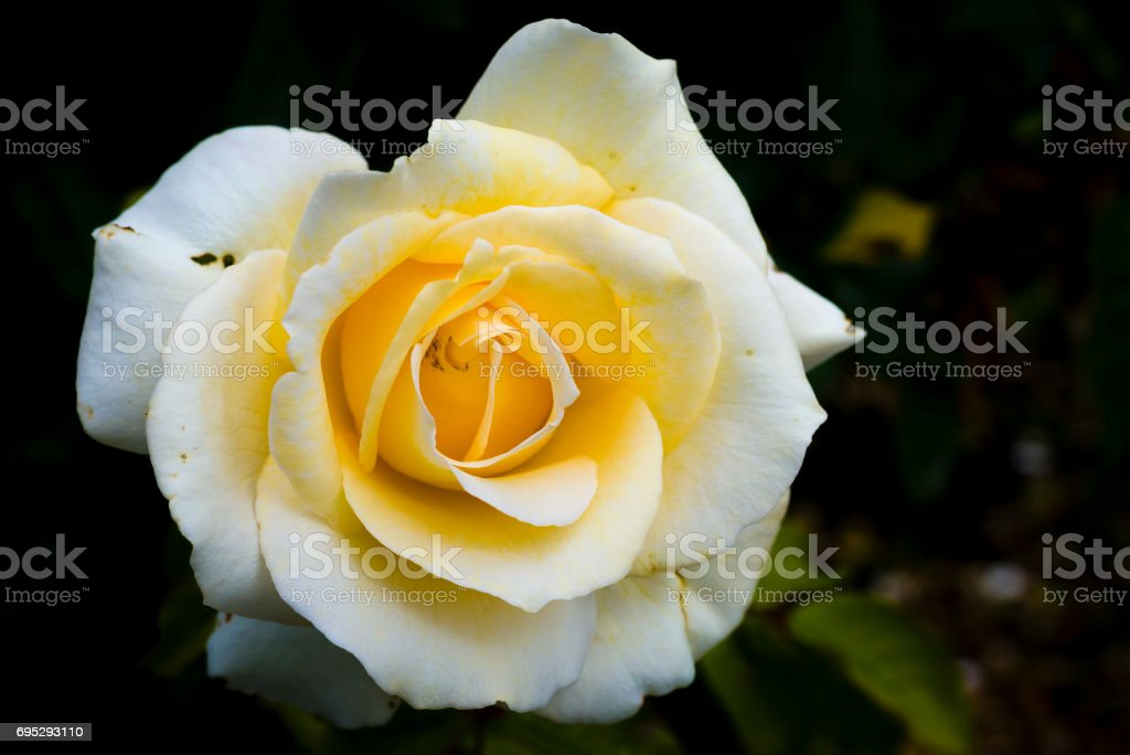 White Rose stock photo