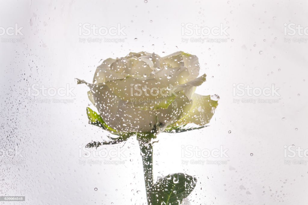 white rose see from the glass stock photo