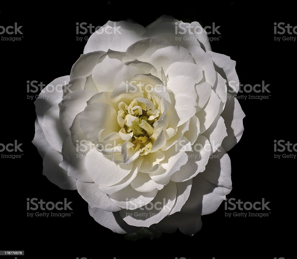 White rose with black background royalty-free stock photo