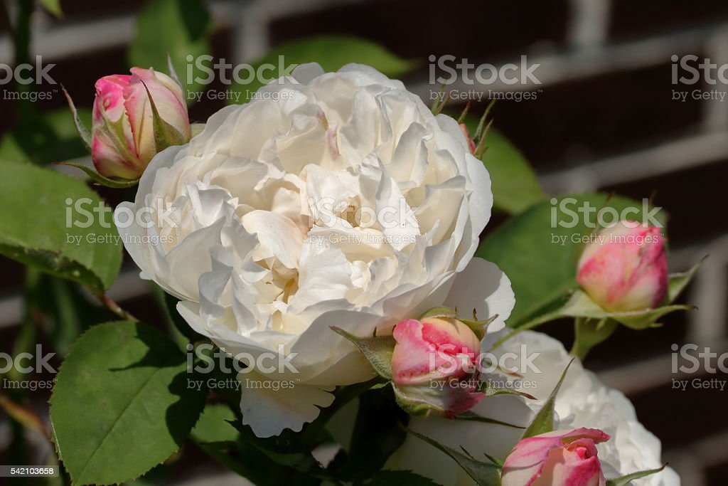 White Rose with Buds stock photo