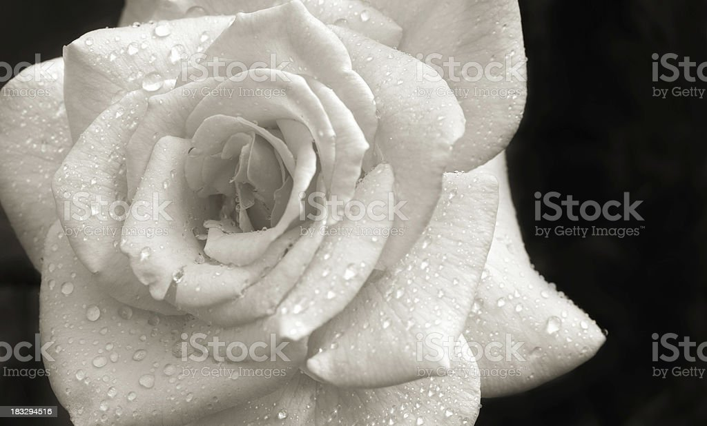 White Rose with Dew Drops royalty-free stock photo