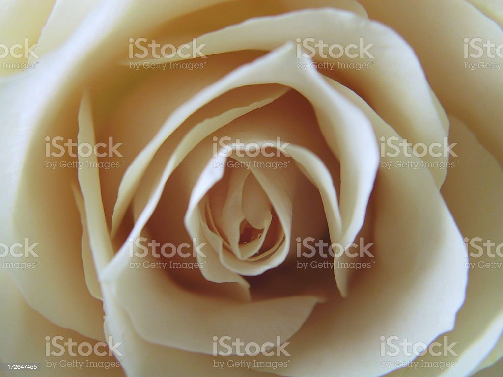 White Rose with Dew royalty-free stock photo