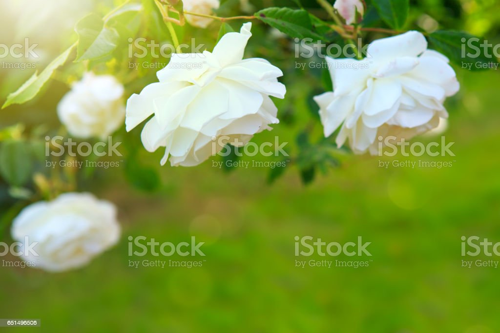 White rose with rays of light stock photo