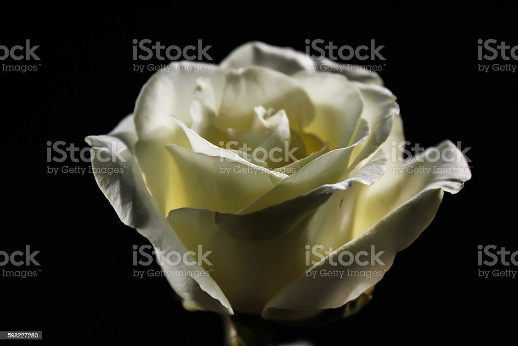 White rose with shadow royalty-free stock photo