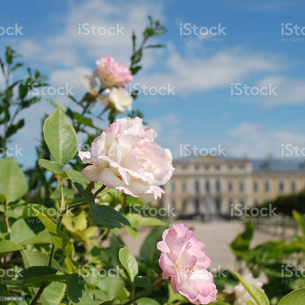 White roses and Baroque - Rococo style palace in background royalty-free stock photo