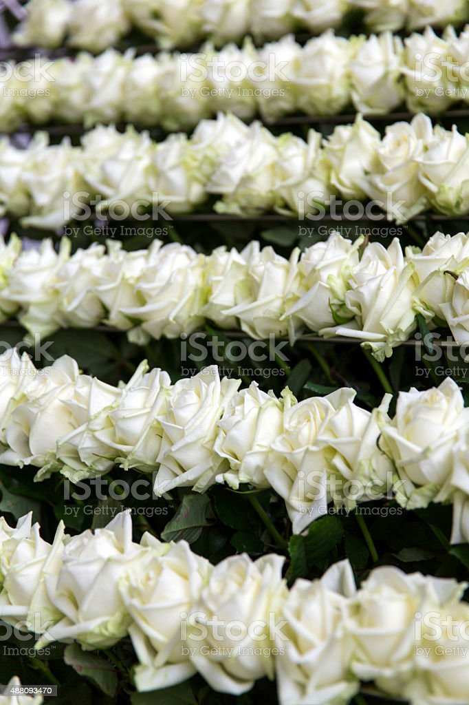 White roses in conveyer stock photo