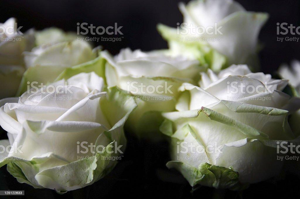 white roses on black background royalty-free stock photo