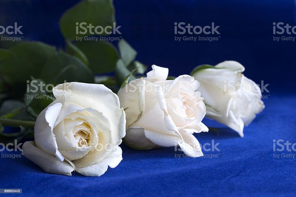white roses on blue royalty-free stock photo