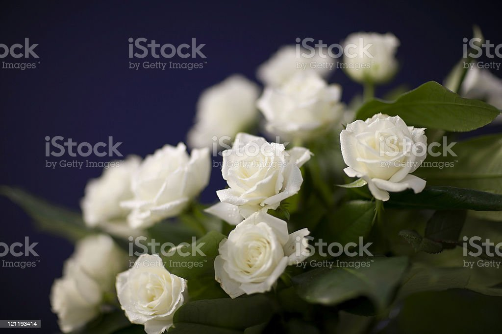 White roses on purple stock photo