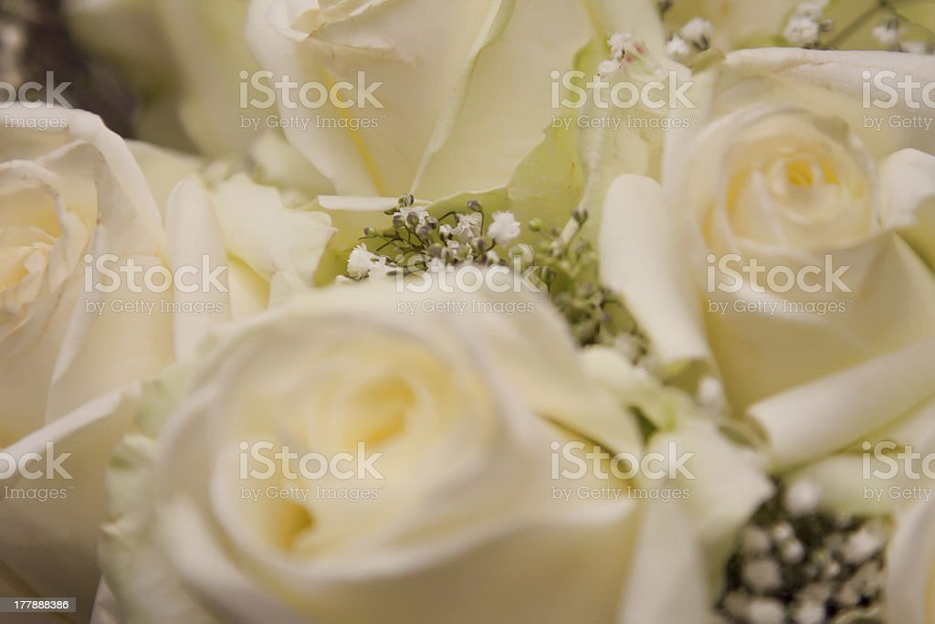 Białe róż zbiór zdjęć royalty-free