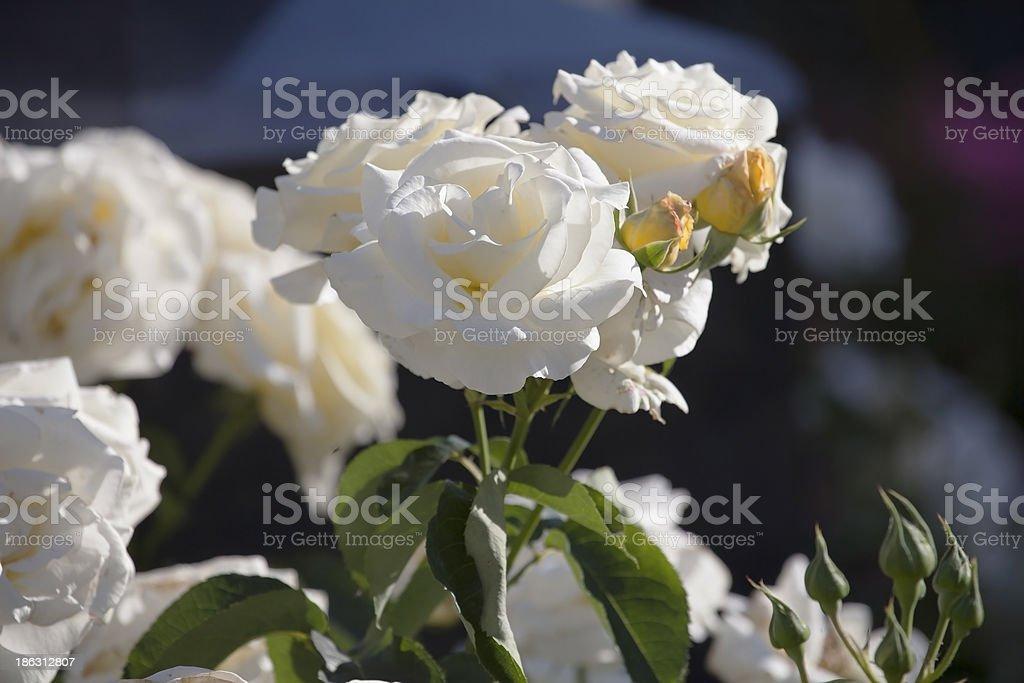 White roses. stock photo