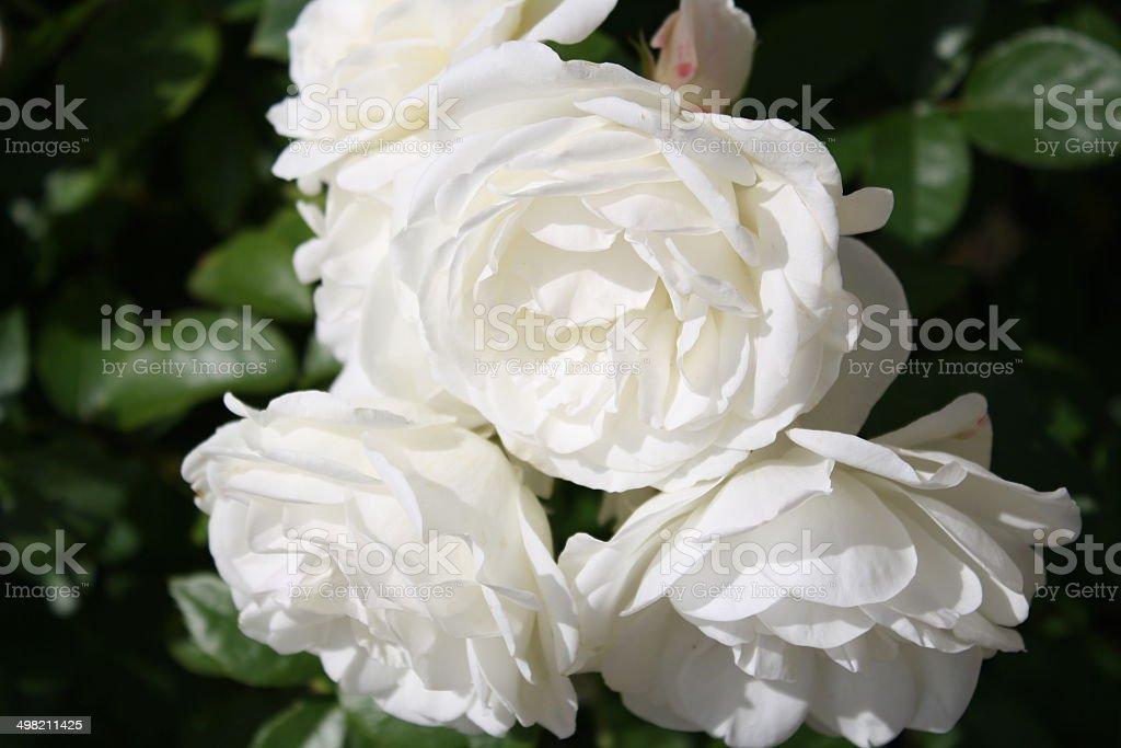 Weiße Rosen Lizenzfreies stock-foto