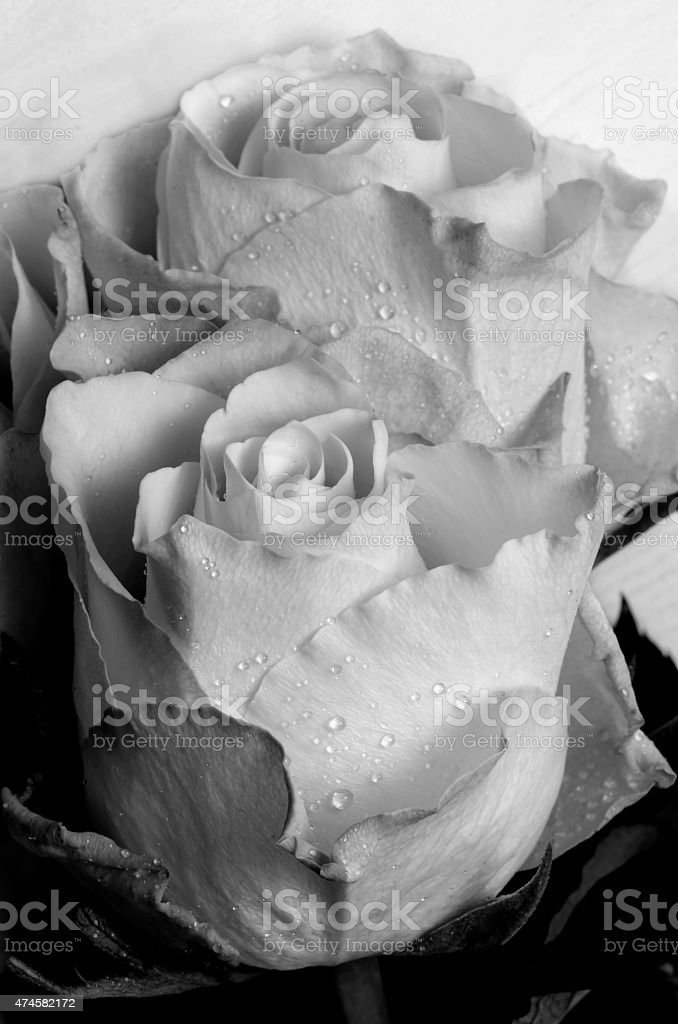 White roses with drops of rain. Close-up. Selective focus. stock photo