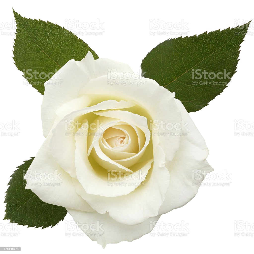 White Roses /clipping path stock photo