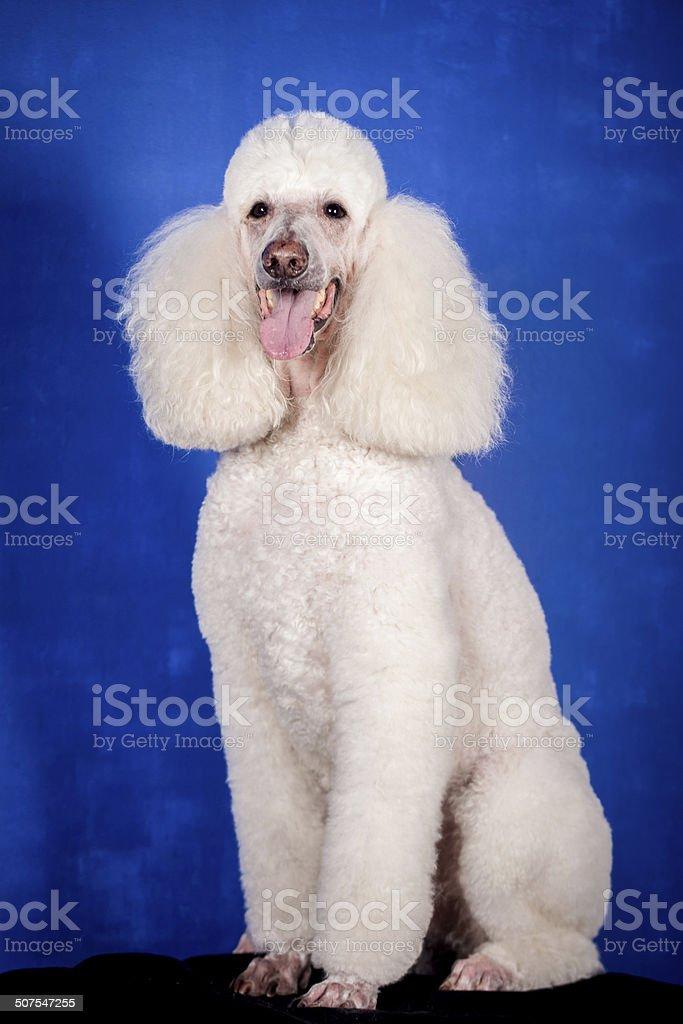 White Royal poodle on blue stock photo