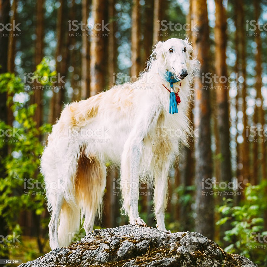 White Russian Borzoi, Hunting Dog standing on rock in forest stock photo