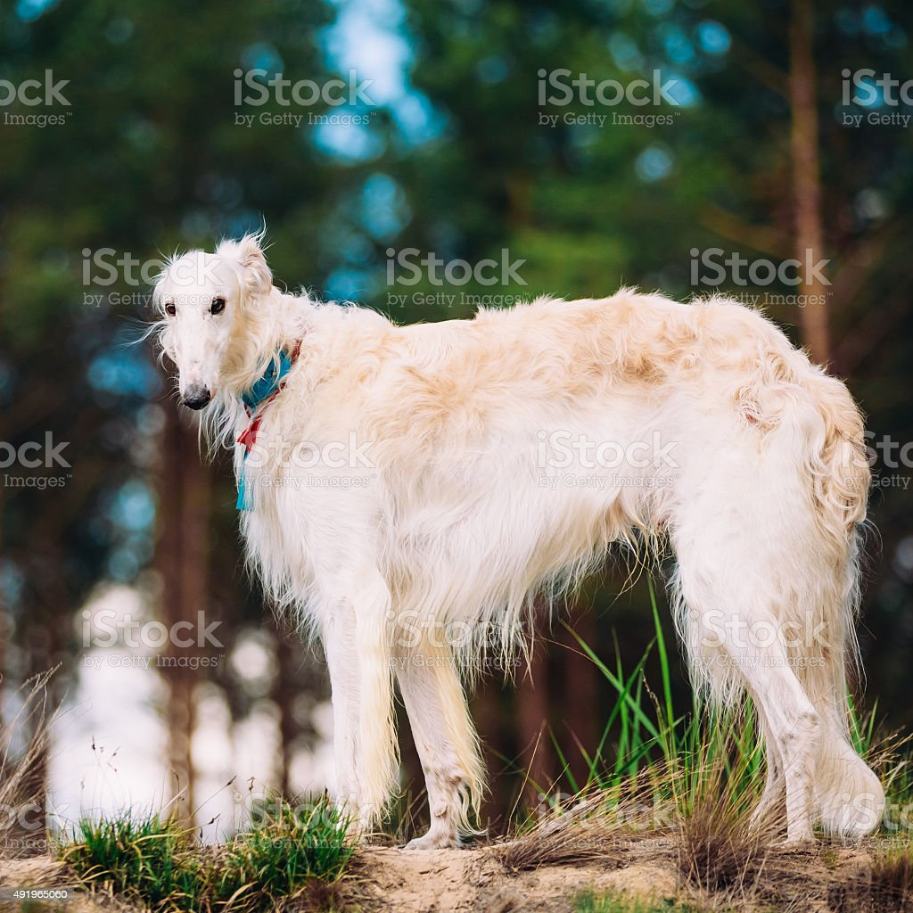 White Russian Dog, Borzoi, Hunting dog in Spring Summer Forest. stock photo