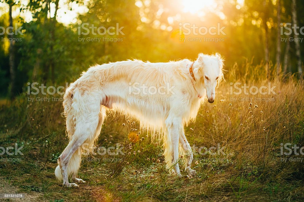 White Russian Dog, Borzoi, Hunting dog in Summer Sunset Sunrise stock photo