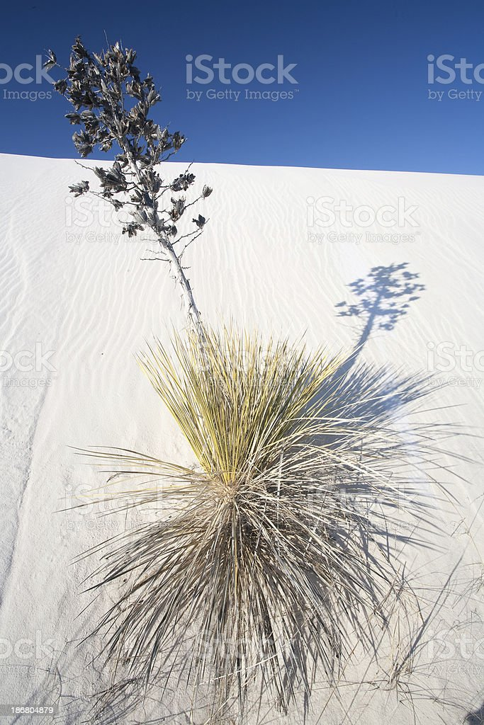 White Sands Leaning Yucca and Shadow stock photo