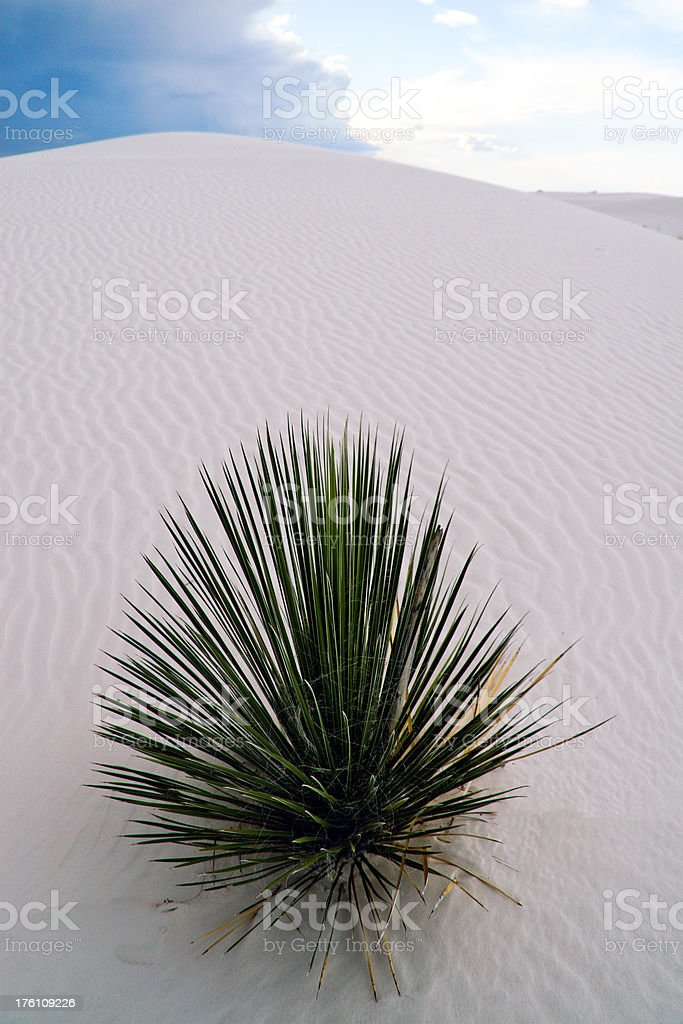 White Sands Yucca stock photo