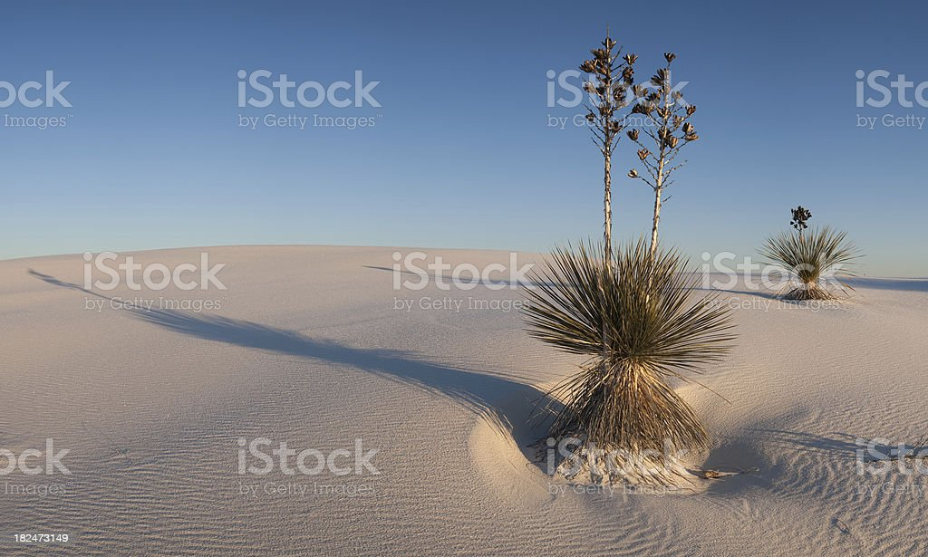 White Sands Yuccas and Frosty Dunes Panorama stock photo