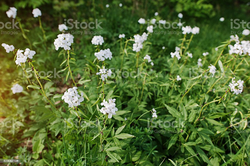 White saponaria flowering plants at forest. Grass soap. Soapworts flower stock photo