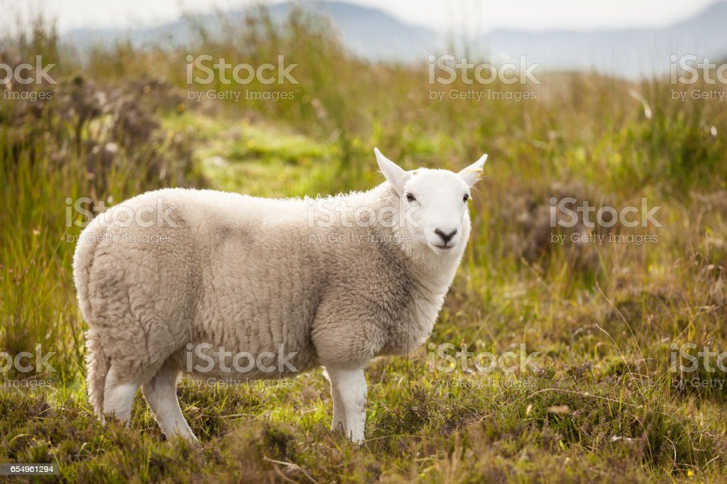White Scotland Sheep stock photo