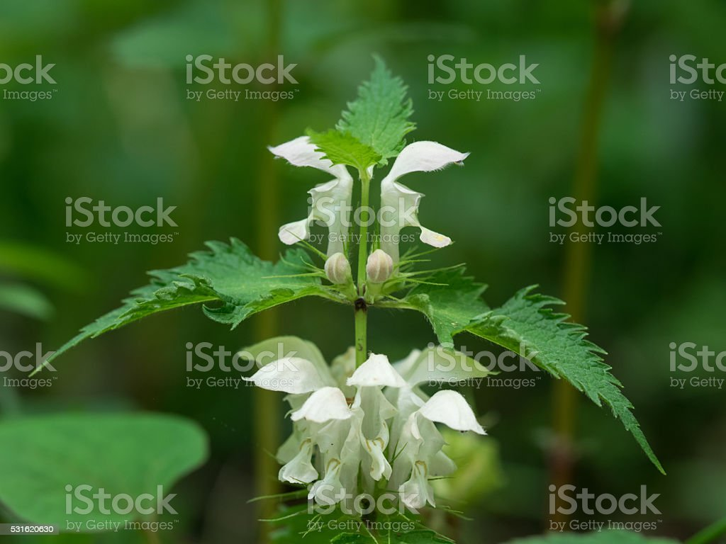 White Scutellaria indica var. parviflora stock photo