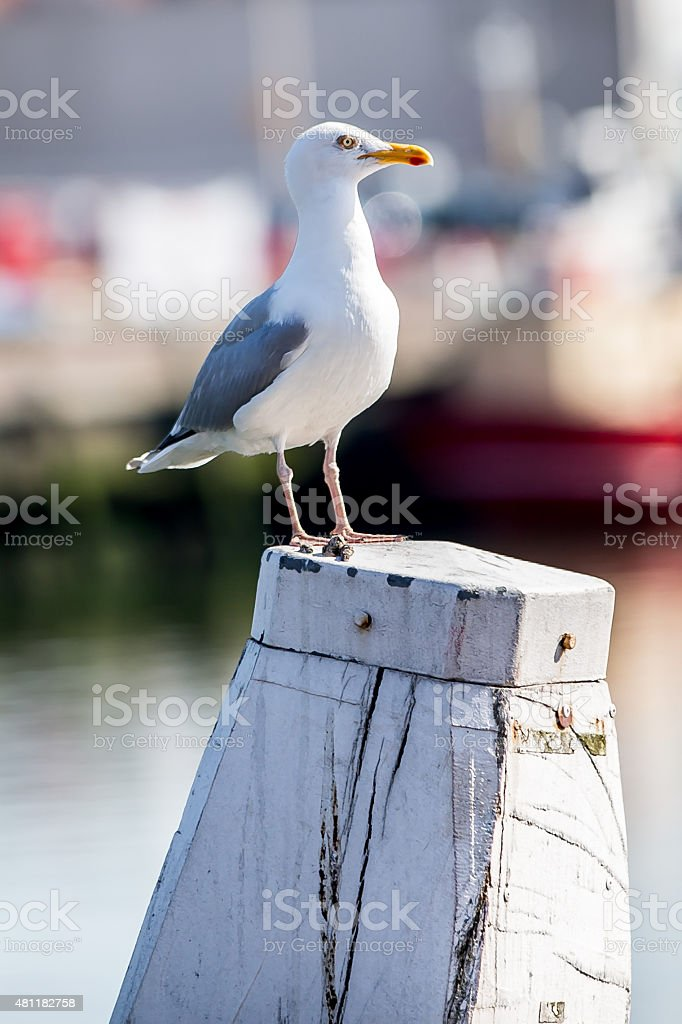 White seagull on a pillar in the harbour stock photo