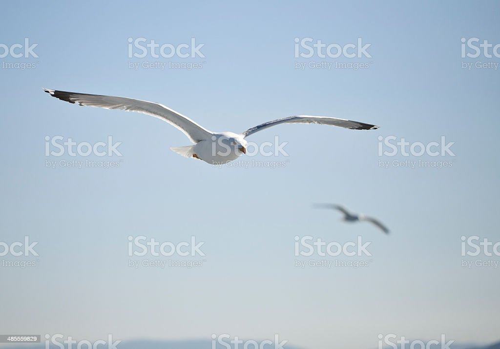 White seagull soaring in the blue sky stock photo