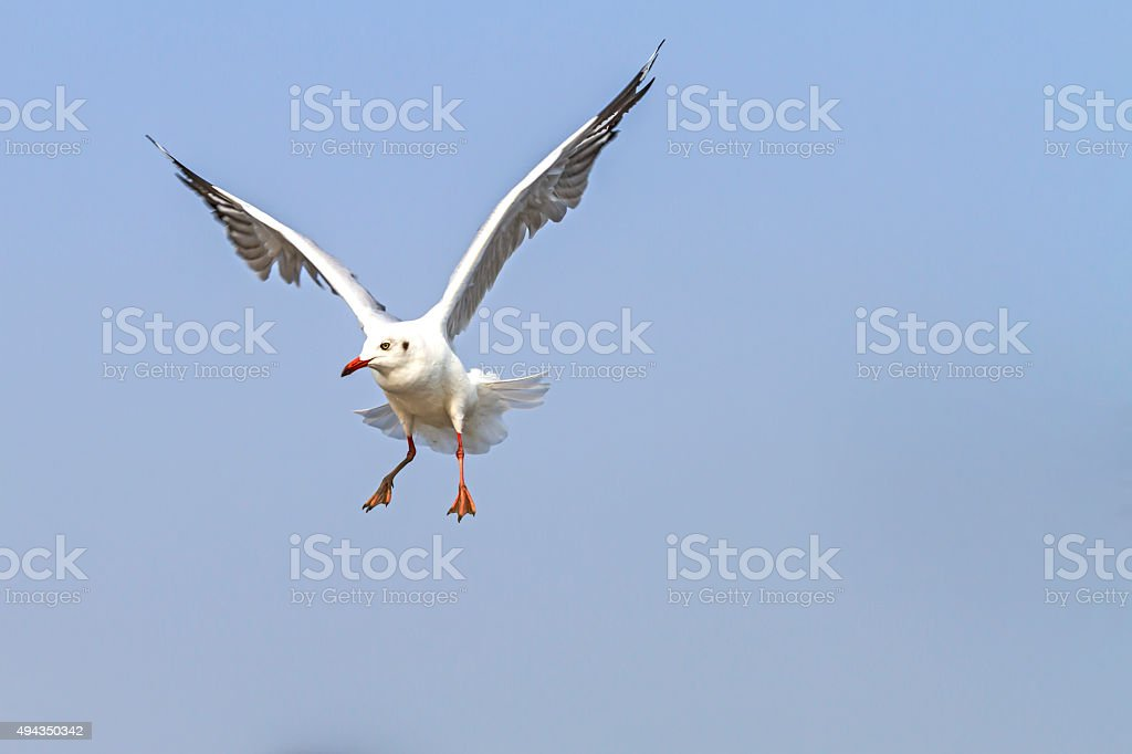 White seagull swoop stock photo