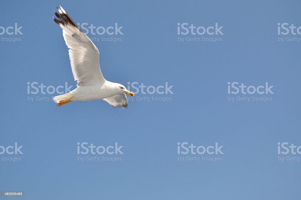 Biały Mewa z Rozpostarte skrzydła flying przed błękitne niebo zbiór zdjęć royalty-free