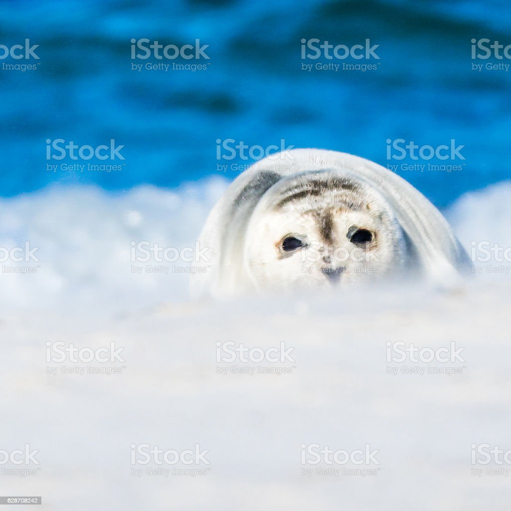 White Seal Baby stock photo