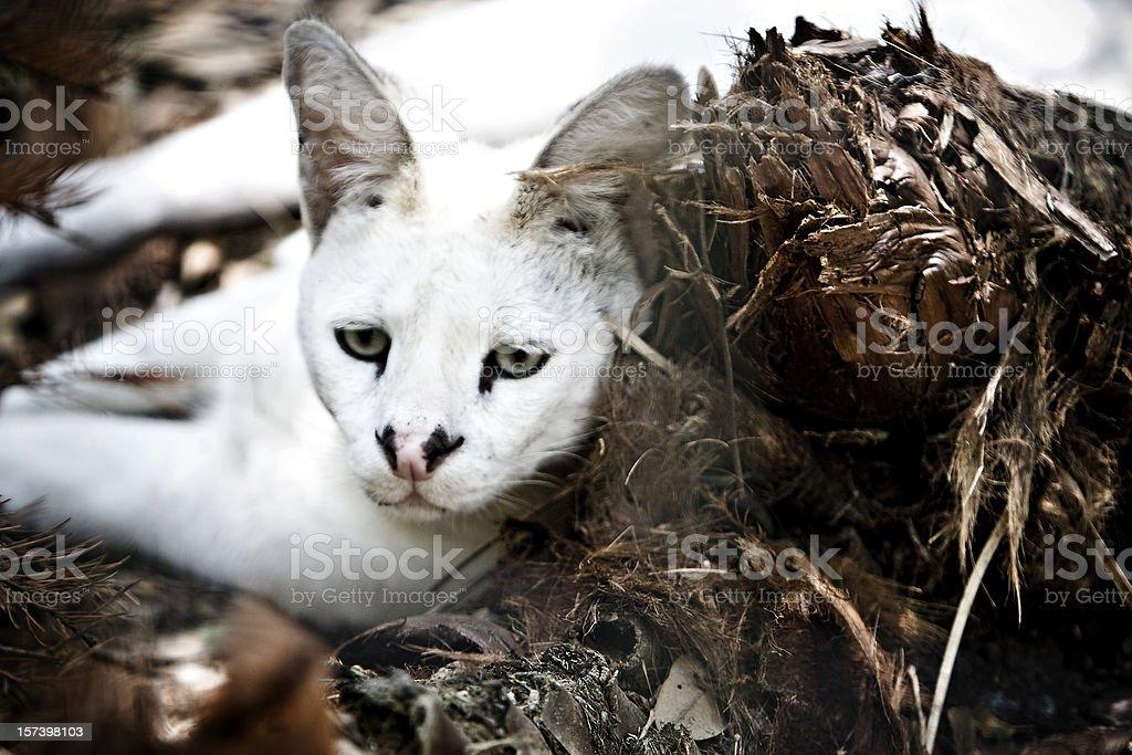 White Serval stock photo