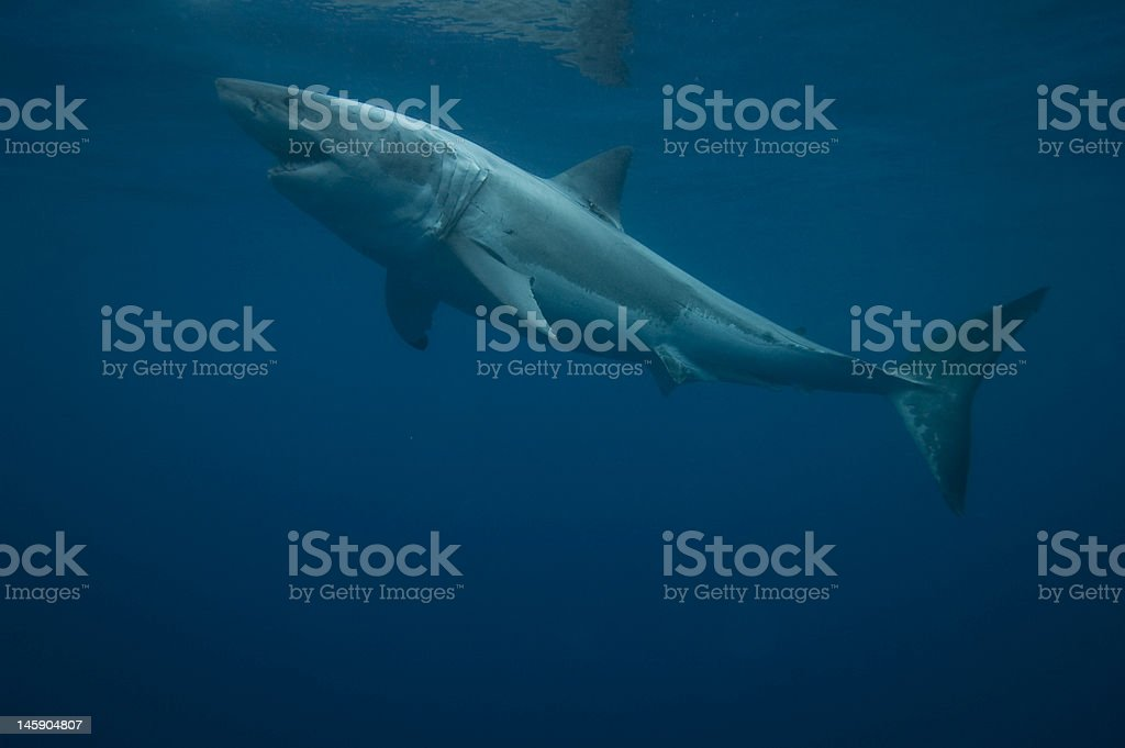 White Shark, Deep Water royalty-free stock photo