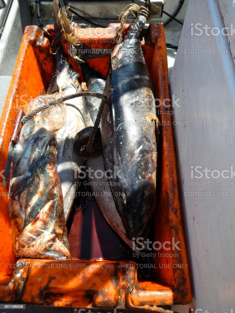 White Shark watch, bait, cage diving &  viewing, South Africa stock photo