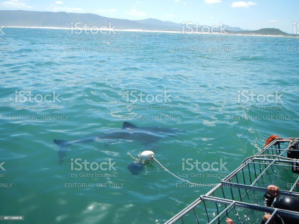 White Shark watch, cage diving &  viewing, South Africa stock photo