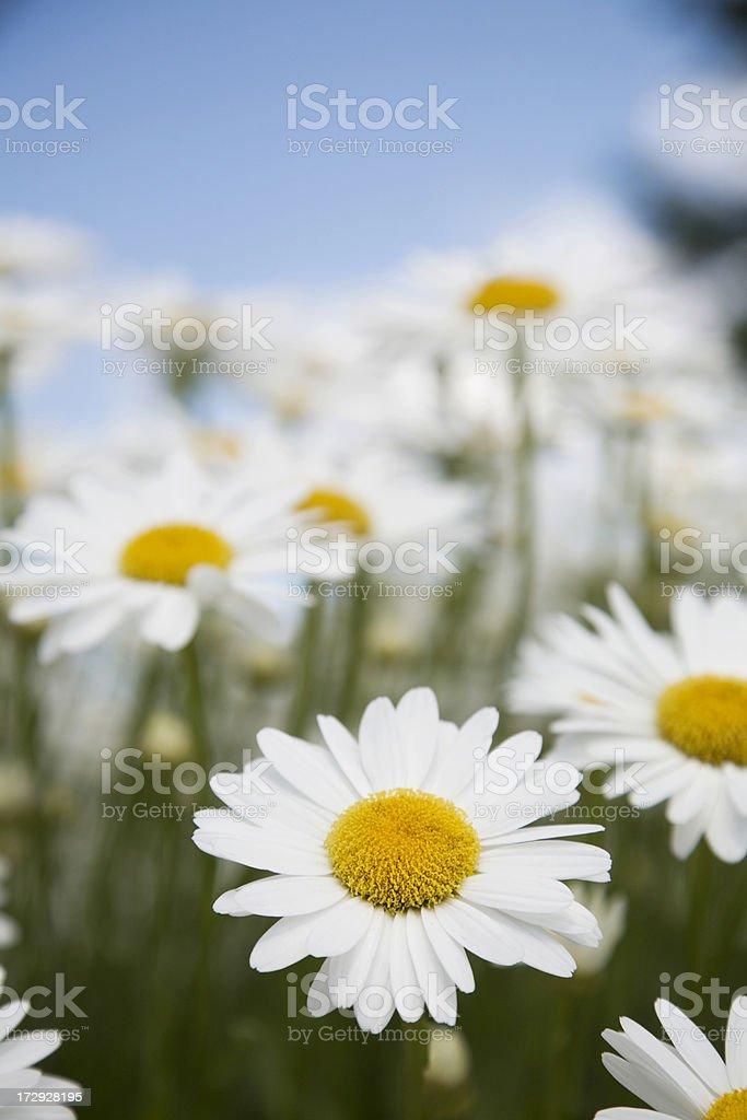 White Shasta Daisy Flowers, Blue Sky, Close Up, Ground View royalty-free stock photo