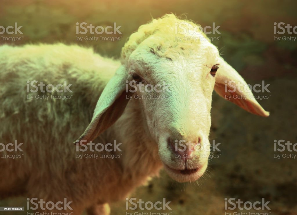 white sheep close up portrait on summer green stock photo