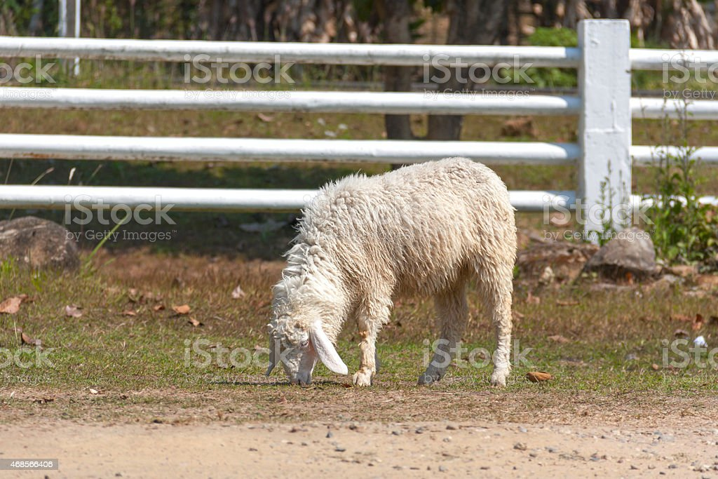 White sheep eating grass outdoor royalty-free stock photo