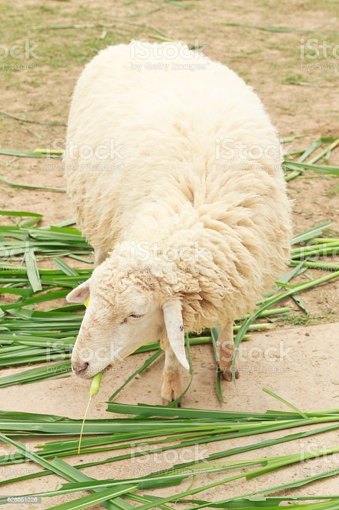 White sheep happy is eating grass stock photo