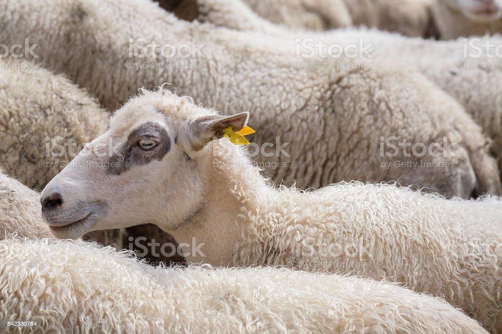 White sheep herd stock photo
