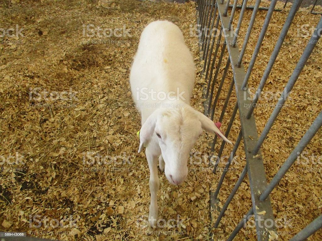 White Sheep in Agriculatural Fair stock photo