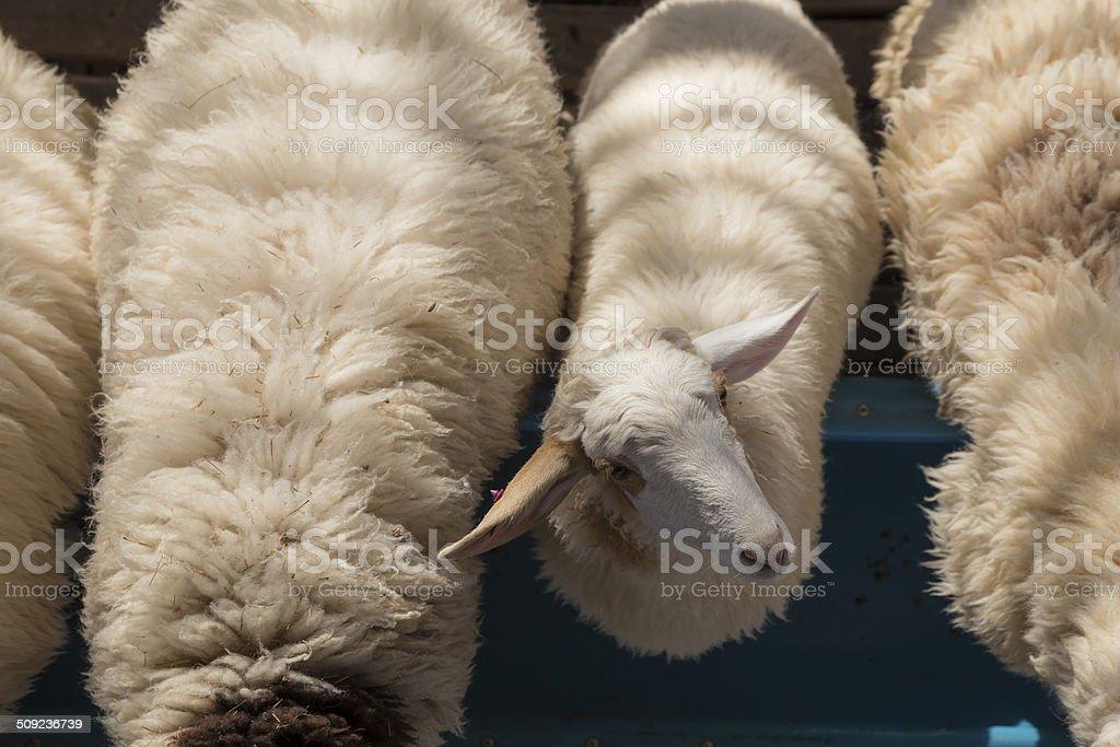 Weiße Schafe in der farm Lizenzfreies stock-foto